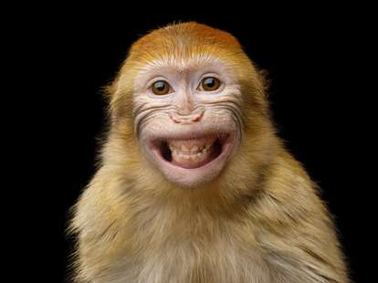 Chinese Horoscope - Fire - Monkey | photo: (c) seregraff - stock.adobe.com